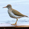 Spotted Sandpiper Walks the Plank
