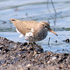 Spotted Sandpiper on the Mudflat