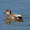 Peaceful Gadwall View 1