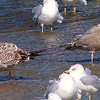 My First Thayer's Gull