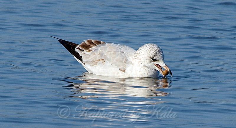 Playful Gull Part 3 of 5