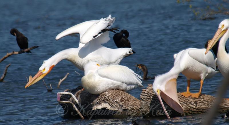 Pelicans Are Strange