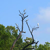 The Egret Tree