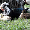 Muscovy Mother And Her Five Ducklings