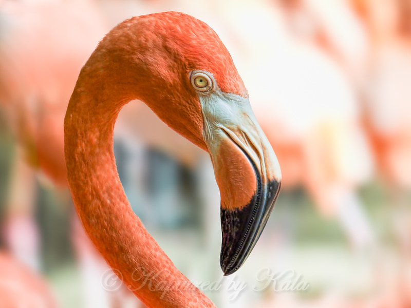 Caribbean Flamingo Portrait
