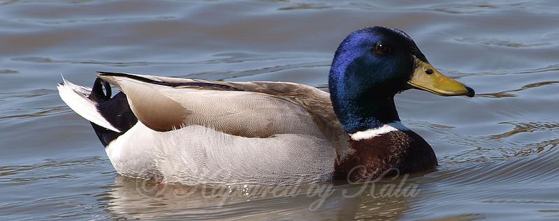 Close Up of the Blue Headed Mallard