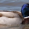 Close Up of the Blue Headed Mallard