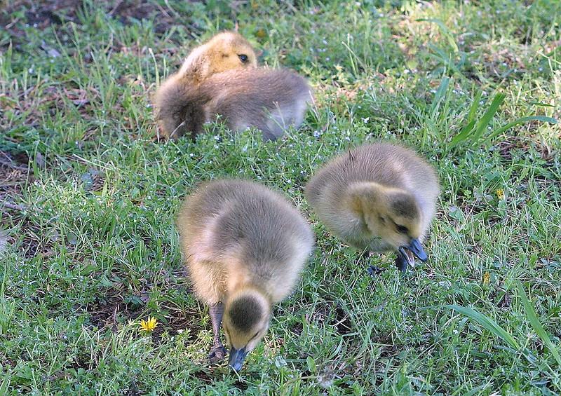 Last Shot Of The Goslings