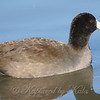 Close Up Of An American Coot View 1