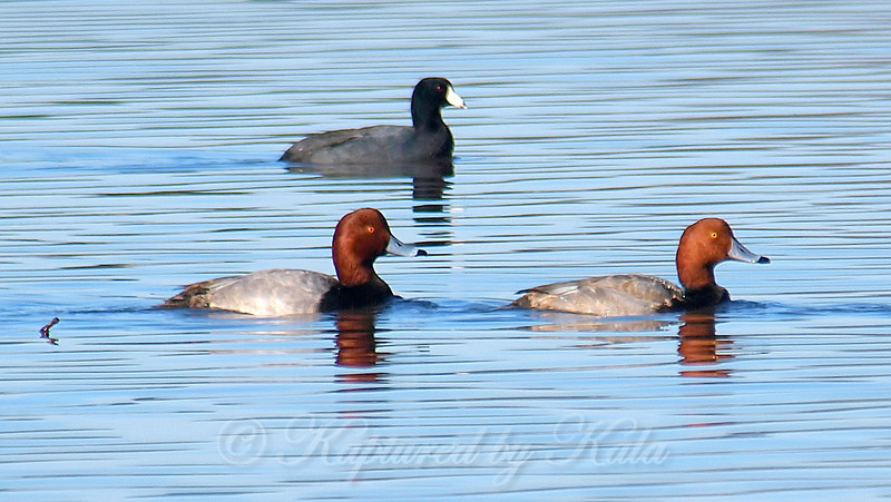 RedHeads & A Coot In Front Of The Pier