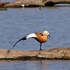 Ruddy Shelduck View 13