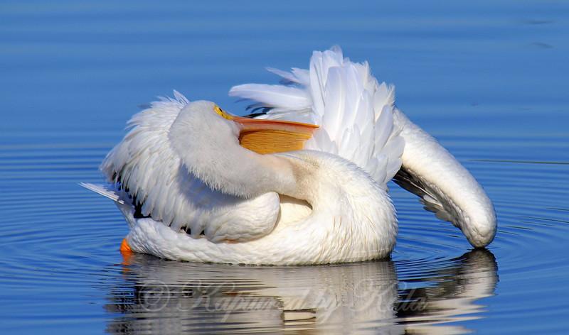 Pelican Pretzel