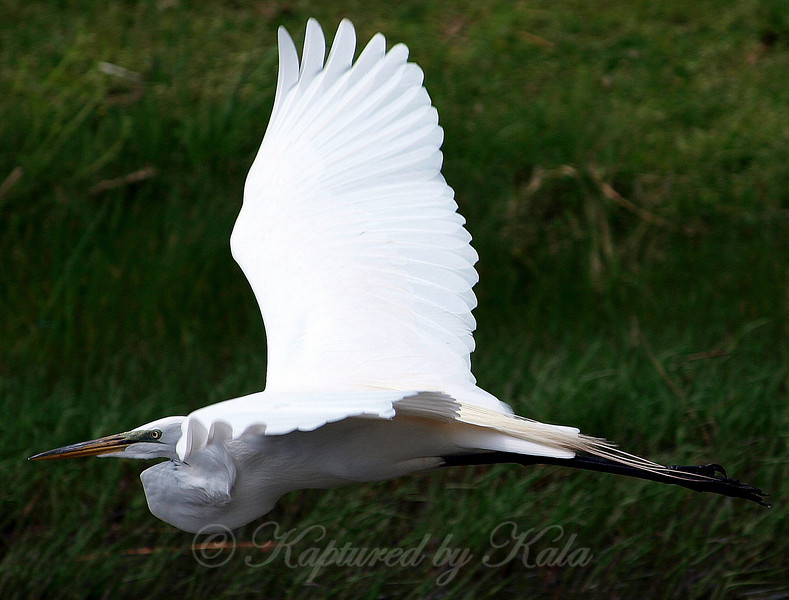 Flight of the Great Egret