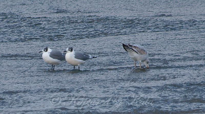 Frankliln's Gull View 2