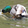 Mallard Mating Behaviors Part 7