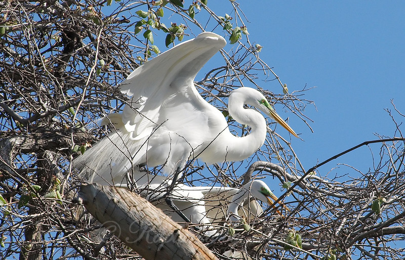 Great Egret Mating Behavior Part 4 of 7