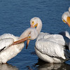 Love Our Winter Pelicans