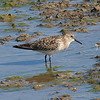 Another Baird's Sandpiper