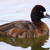 Mrs. Scaup's Close Up
