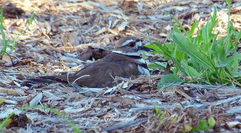 Mulch Makes a Soft Nest