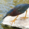 Green Heron Hunting For Food
