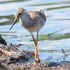Close Encounter With a Lesser Yellowlegs