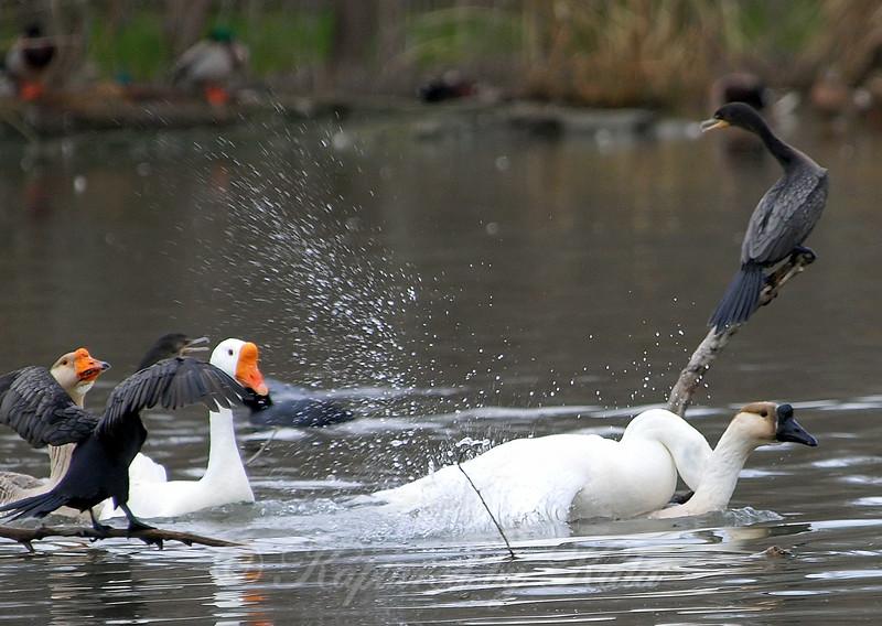 Unusual Goose Breeding Behavior Part 1 of 16