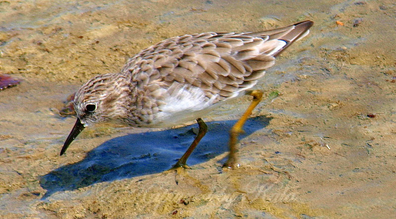 Adult Least Sandpiper