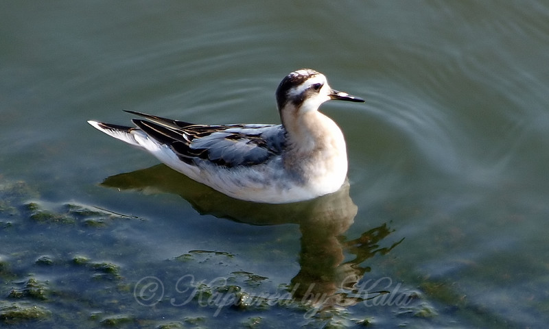 Juvenile Red Phalarope View 3
