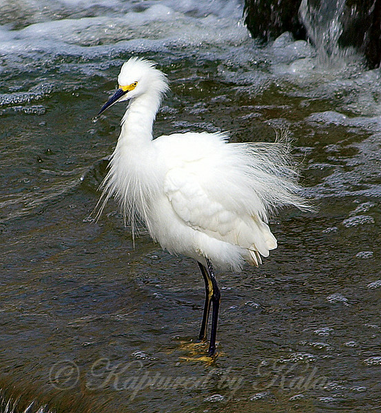 My First Snowy Egret View 3