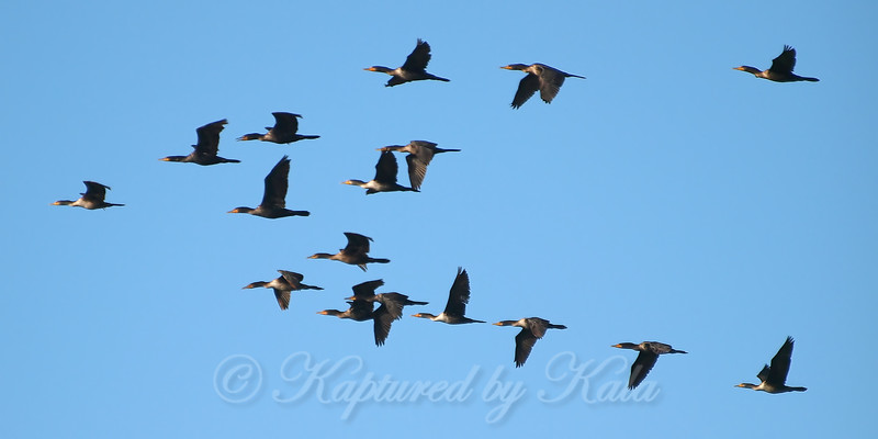 A Flock Of Cormorants