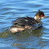 Eared Grebe Bathing