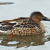 Juvenile Male Northern Shoveler