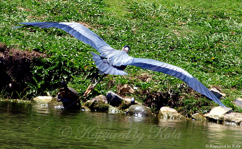 Great Blue Heron With Fishing Line