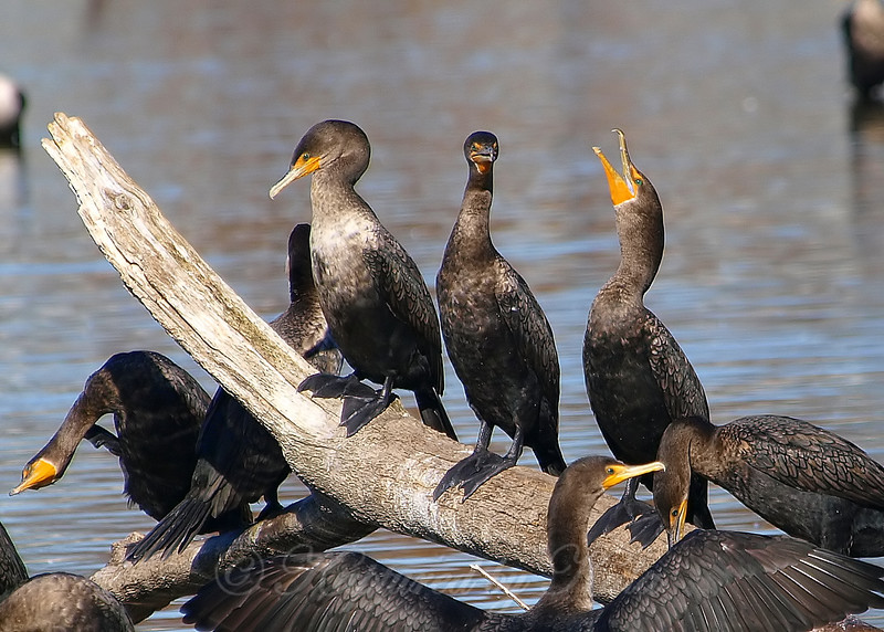 Clash of the Cormorants Part 4