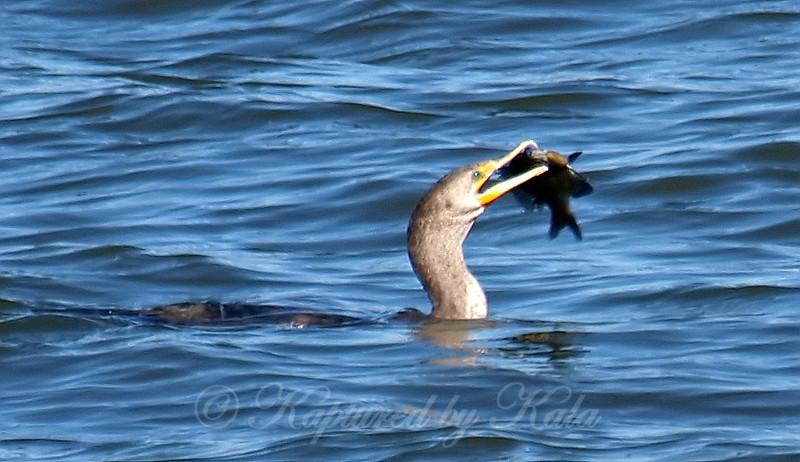 Juvenile Cormorant With A Nice Catch