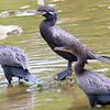 Neotropic Cormorant Family Part 1