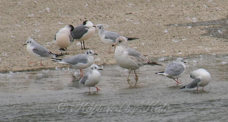 Mixed Group Of Gulls