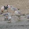 Mixed Group Of Gulls