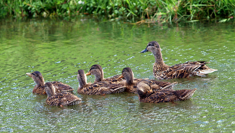 Baby Mallards, Almost as Big as Mom Now