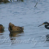 Four Large Ducks and a Small Heron