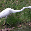 A Great Egret Just Spotted It's Lunch.