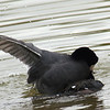Mating Coots 6 of 8