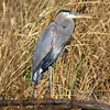 Blue Heron In Golden Grasses
