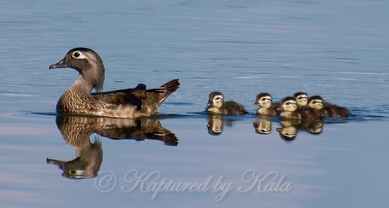 Mama Wood Duck & Babies