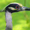 Yellow-crowned Night-Heron Portrait