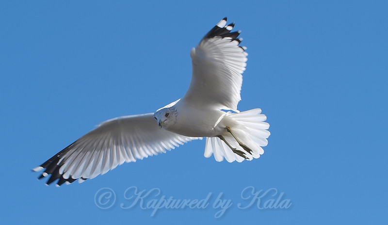 Last Of The Hovering Gull Shots