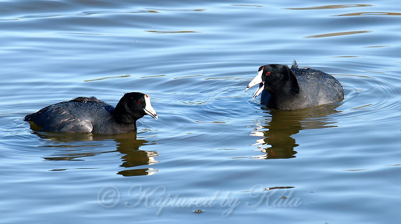 Couple Of Coots Having A Chat