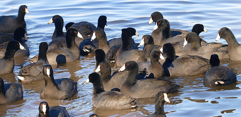 A Covey Of Coots