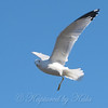 Beautiful One-legged Gull In Flight